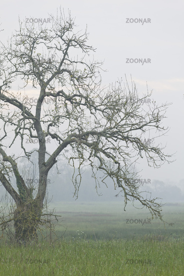 Old tree on a foggy morning in Mist