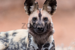 African wild dog in the wilderness