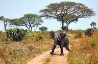 Elephant, Murchison Falls National Park Uganda (Loxodonta africana)