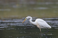 Great Egret hunting fish