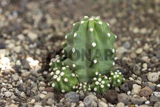 Echinocerus triglochidiatus f.inermis