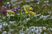 Echte Schlüsselblume im Schnee, Primula veris, cowslip