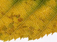 Underside of a translucent autumnal leaf in different shades. With leaf veins and leaf cells