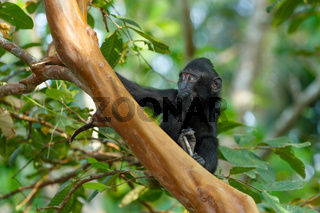 Celebes crested macaque, Sulawesi, Indonesia wildlife