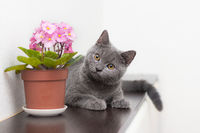 Cat and home flower in a pot . Article about animals and home flowers. Harm of home flowers for cats. Grey British cat