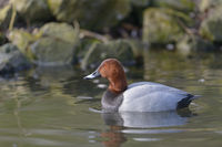 Male Common Pochard, Aythya ferina