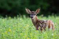 Cute red deer fawn looking back on a green meadow in summer nature