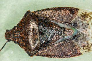 brown tree bug with antennae and compound eyes