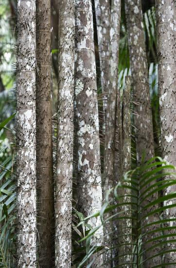 Thorny stems of the Nibong palm (Oncosperma tigillarium)