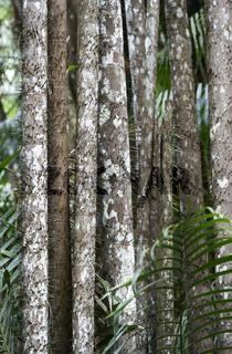 Bedornte Stämme der Nibong Palme  (Oncosperma tigillarium)