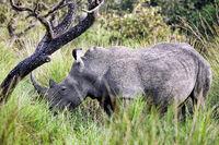 Rhinos at Ziwa Rhino Sanctuary, Uganda