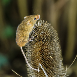 harvest Mouse (Micromys minutus) Berkshire Uk