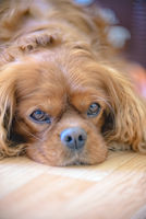 Portrait of a Cavalier King Charles Spaniel dog
