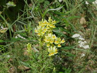 yellow flowers of common toadflax