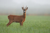 Roe deer buck watching on green field in morning mist.