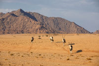 Oryx in the Namib Naukluft National Park, Namibia