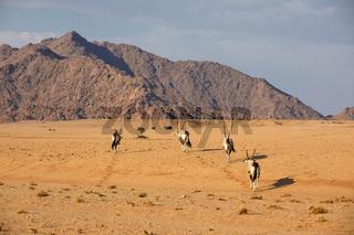 Oryx in the Namib Naukluft National Park, Namibia