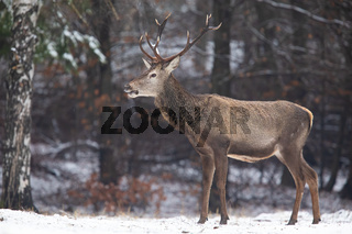 Red deer stag standing in forest in wintertime nature.