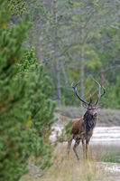 Red Deer stag in Denmark / Cervus elaphus