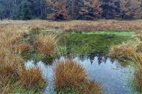 Herbststimmung in einem Moor im Wald / Autumn atmosphere in a small bog among of a forest / Lohfiert - Schleswig-Holstein