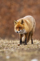 Alert red fox standing on meadow in autumn nature.