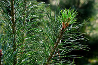 Beautiful pine branches close-up in the background light
