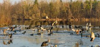 Group of ducks landing on frozen lake in winter.
