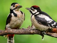 great spotted woodpecker is feeding the kid