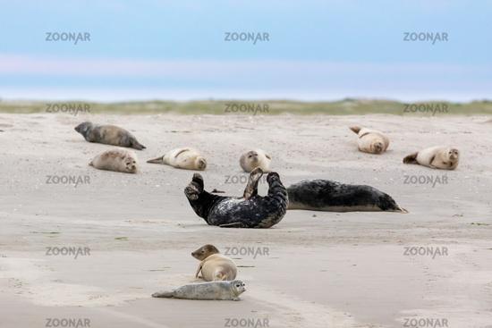 Harbor Seals and Grey Seals