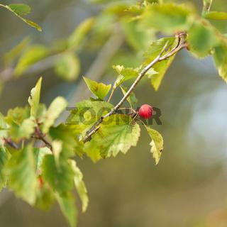 Blätter und Frucht der Elsbeere (Sorbus torminalis)