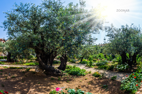 Branched olive trees