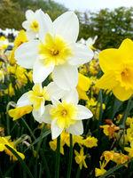 Narzisse, Narcissus, Bella Estrella