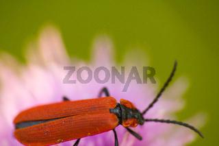 longhorn beetle on a pink flower