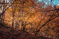 Beautiful autumn beech forest