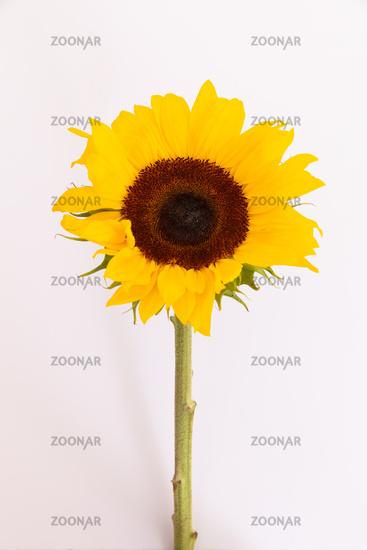 Close up of fresh summer sunflower lying on white background