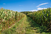Corn fields with grass path in between and forest in the background under a blue sky