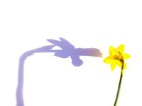 One narcissus flower on white background. Copy space