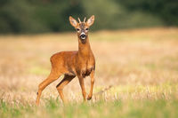 Young roe deer standing on stubble field in summer nature.