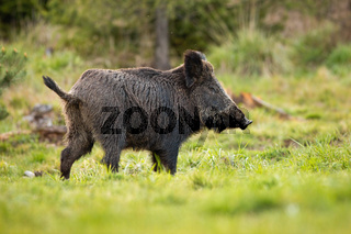 Side view of adult female of wild boar grazing on the open forest clearing