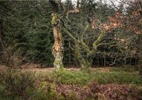Two old and tortuous trees in the forest