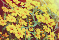 Vintage style yellow flowers in the garden