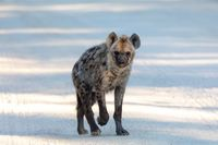 cute young Spotted hyena, Botswana Africa wildlife