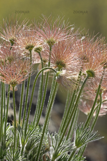 Seed head of an Pasque flower (Pulsatilla vulgaris)