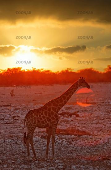 Giraffe im Sonnenuntergang, Etosha-Nationalpark, Namibia, (Giraffa camelopardalis)   Giraffe at the sunset, Etosha National Park, Namibia, (Giraffa camelopardalis)