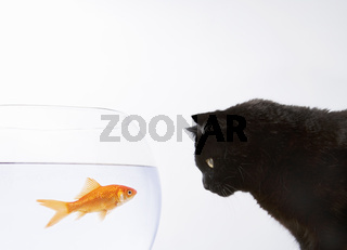 A black cat staring at a goldfish