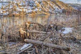 Trees damaged by beavers on a river shore