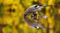 Thirsty eurasian jay drinking water from the little islet in the forest lake