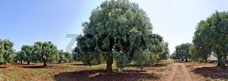 Plantage mit mächtigen alten Olivenbäumen