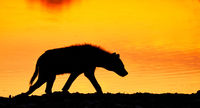 spotted hyena in the sunrise, Etosha National Park, Namibia, (Crocuta crocuta)