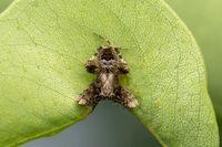 Male Orb weaver spider, Neoscona nautica, araneidae, Satara, Maharashtra, India